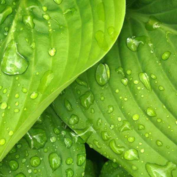 leaves-rain-green-hosta-38012